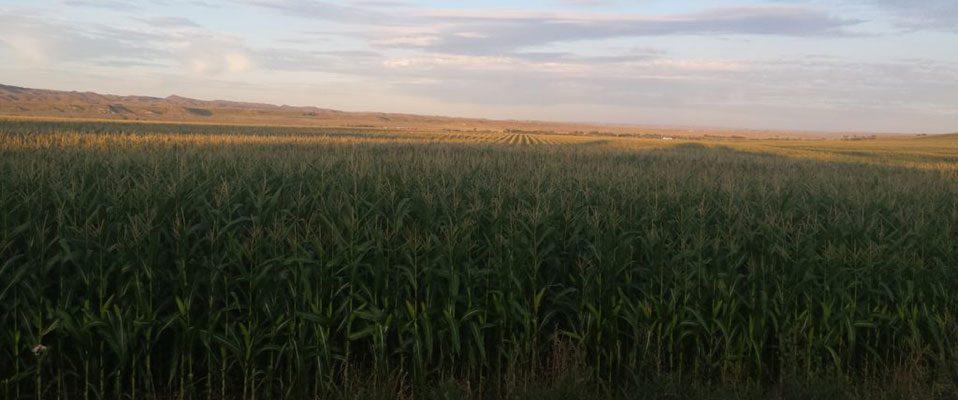 Padlock-Corn