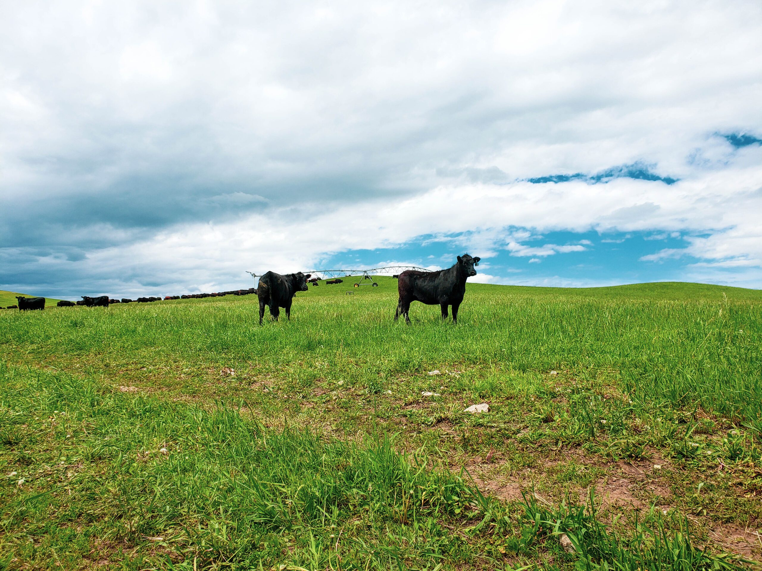 Replacement heifers on irrigated pasture